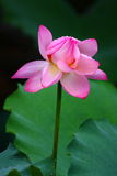 Pink Lotus Flower. With drops of water Royalty Free Stock Photo