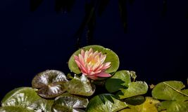 Pink lotus flower on the pond. stock images