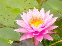 Pink lotus flower Royalty Free Stock Photo