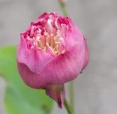 Pink lotus flower. Fresh pink lotus flower single in frame Royalty Free Stock Photos