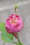 Pink lotus flower. Fresh pink lotus flower single on frame Royalty Free Stock Image