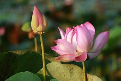 Pink Lotus Flower and Bud in The Sunshine stock photo