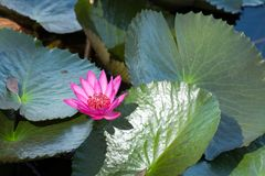 Pink Lotus flower in full bloom is in the pool. And lotus leaves Royalty Free Stock Photos