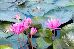 Pink Lotus flower in full bloom is in the pool. And lotus leaves Royalty Free Stock Photography