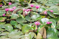 Pink Lotus flower in full bloom is in the pool. And lotus leaves Royalty Free Stock Image