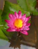Pink lotus flower in garden Stock Photo