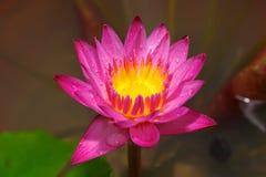 Pink lotus flower in garden Royalty Free Stock Images