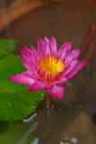 Pink lotus flower in garden Royalty Free Stock Image