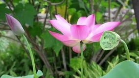 Pink lotus flower in gentle wind stock video footage