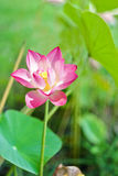 Pink lotus flower on green leaf background. Stock Photography