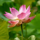Pink Lotus Flower, Green Leaves Background stock photo