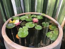 Pink lotus flower and green leaves in a big flowerpot royalty free stock photography
