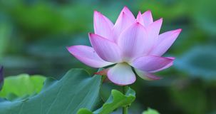 Beautiful pink lotus flower with green leaves in pond. Pink lotus flower with green leaves in pond stock video