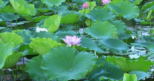 Beautiful pink lotus flower with green leaves in pond. Pink lotus flower with green leaves in pond stock video footage