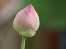 A pink lotus flower growing upright Stock Images