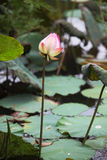 Pink lotus. A pink lotus flower growing upright Royalty Free Stock Images