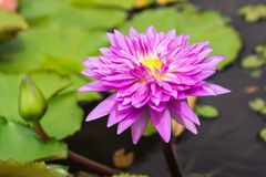 Pink lotus flower Royalty Free Stock Photography