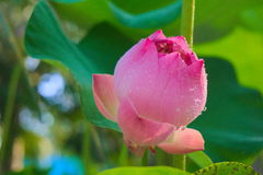Pink Lotus flower. Pink Lotus flower has a condensation with leaves Stock Images