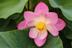 Pink lotus flower head Royalty Free Stock Image