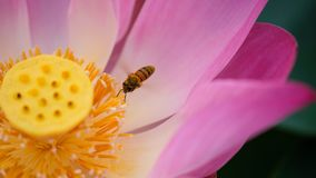 Pink lotus flower with honey bee. Close focus of a beautiful pink lotus flower with bee collecting honey from the pistil. The background is a pink lotus stock image