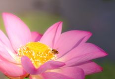 Pink lotus flower with honey bee. Close focus of a beautiful pink lotus flower with bee collecting honey from the pistil. The background is a pink lotus stock photo