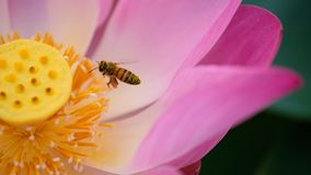 Pink lotus flower with honey bee. Close focus of a beautiful pink lotus flower with bee collecting honey from the pistil. The background is a pink lotus royalty free stock photos