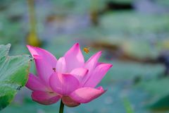Pink lotus flower with honey bee. Close focus of a beautiful pink lotus flower with bee collecting honey from the pistil. The background is a pink lotus stock images