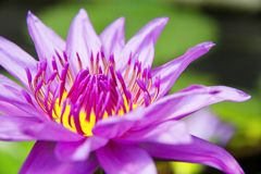 Pink Lotus Flower. Image of Pink Lotus Flower close-up Stock Images