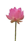 A pink lotus flower isolated on white Stock Images