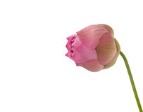 Pink lotus flower isolated on white Stock Photos