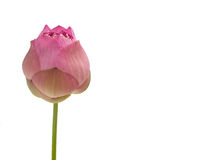 Pink lotus flower isolated on white Royalty Free Stock Image
