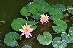 Pink lotus flower. Stock Images
