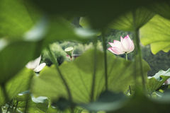 Pink lotus flower on a lake in China Royalty Free Stock Photo