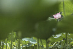 Pink lotus flower on a lake in China Royalty Free Stock Photography