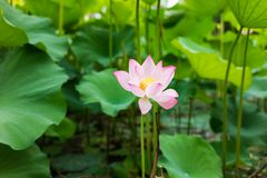 Pink lotus flower on lake with green leaves royalty free stock photography