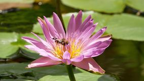 Pink Lotus Flower. Beautiful colors. stock video