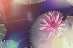 Pink lotus. Flower in the lake at morning time Stock Photos
