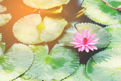Pink lotus. Flower in the lake at morning time Royalty Free Stock Photography