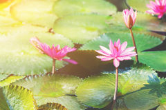 Pink lotus. Flower in the lake at morning time Stock Photography
