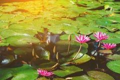 Pink lotus. Flower in the lake at morning time Royalty Free Stock Image