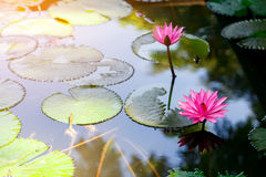 Pink lotus. Flower in the lake reflex in the water at morning time Royalty Free Stock Photography