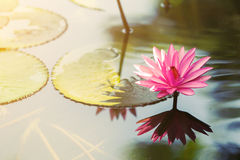Pink lotus. Flower in the lake reflex in the water at morning time Royalty Free Stock Image