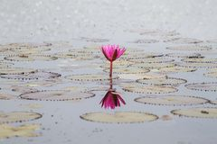 Pink lotus flower in the lake with soft blurred bokeh Royalty Free Stock Photo