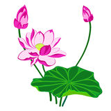 Pink Lotus Flower. With leaf and bud, isolated illustration Stock Photos