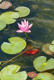 Pink lotus flower and leaves on the lake in Israel stock image