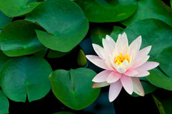 Pink Lotus Flower and Lily Pads Stock Image