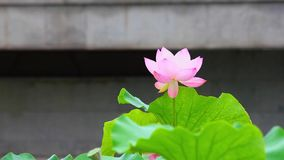 A pink lotus flower and lotus bud in a pond. Pink lotus flower and lotus stock footage