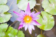 Pink Lotus flower and Lotus flower plants. Stock Photos