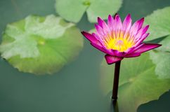 Pink Lotus Flower with Lotus Leaf. Stock Image