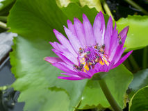 Pink lotus flower with many bee Stock Photo